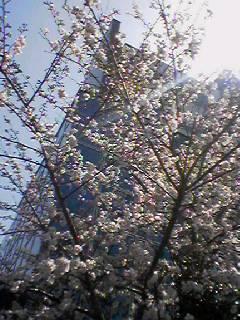 桜のダンス