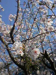 桜のダンス その2